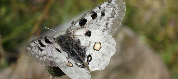 apollovlinder monte crocione comomeer italie witte vlinder a