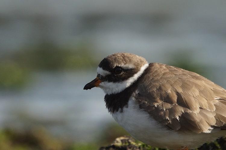 bontbekplevier vogels kijken lauwersmeer