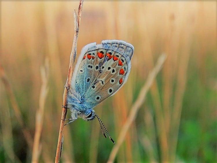 slaapplaats icarusblauwtje
