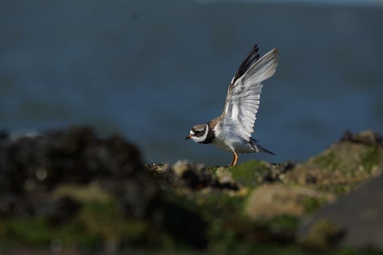vogels kijken brouwersdam bontbekplevier sjaak huijer