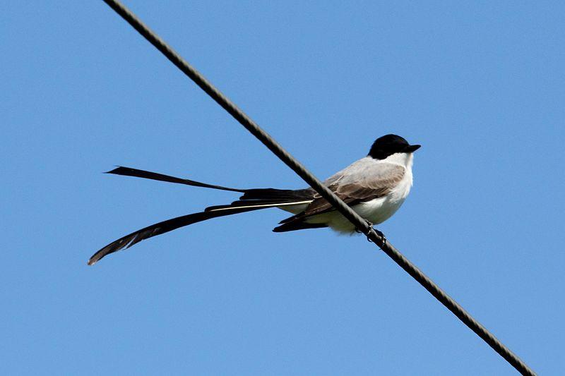 vogels kijken op aruba vorkstaartvliegenvanger