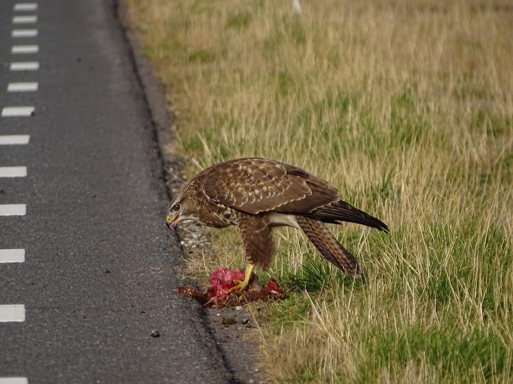 buizerd eet konijn maasvlakte europoort roofvogels b
