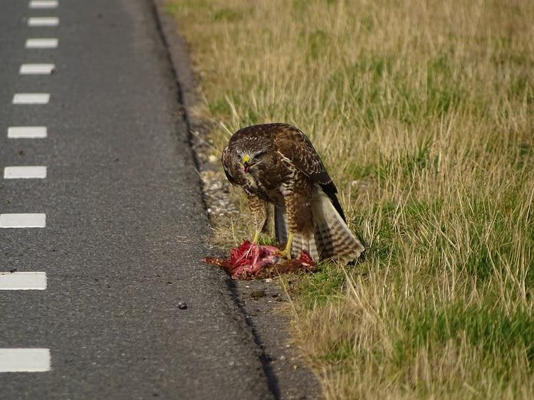 buizerd eet konijn maasvlakte europoort roofvogels c