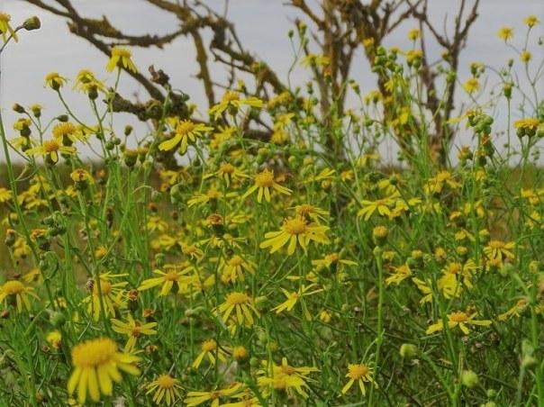 gele bloemen westplaat maasvlakte