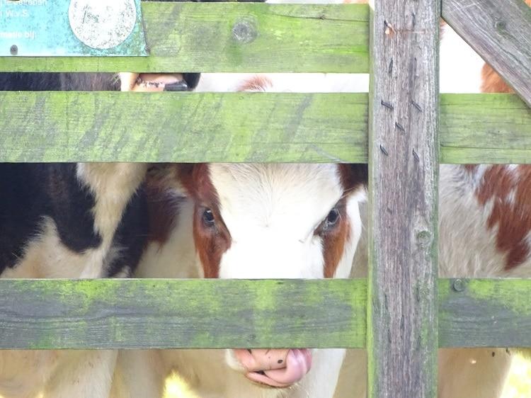 pinken koe alblasserwaard