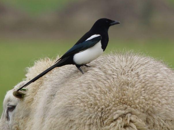 ekster op schaap sjaak huijer