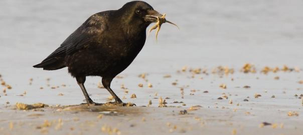 zwarte kraai eet zeester sjaak huijer a