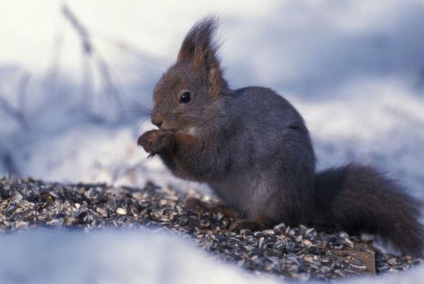 Sciurus vulgaris, Eekhoorn, Saxifraga Arie de Knijff