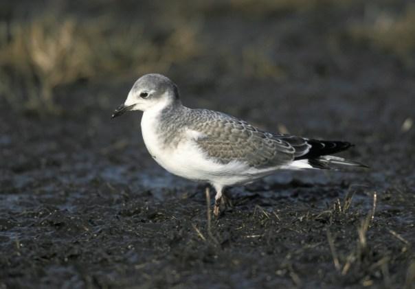 vogels op Spitsbergen