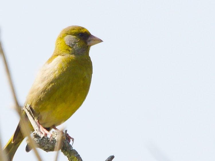 groenling vogelobservatorium tij