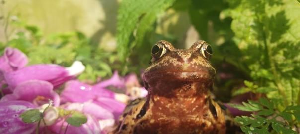 bruine kikker in de tuin