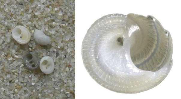 gekielde cirkelslak basisgids strandvondsten