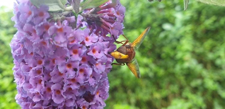 stadsreus enorme zweefvlieg insect