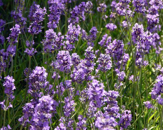N°1: Lavendel