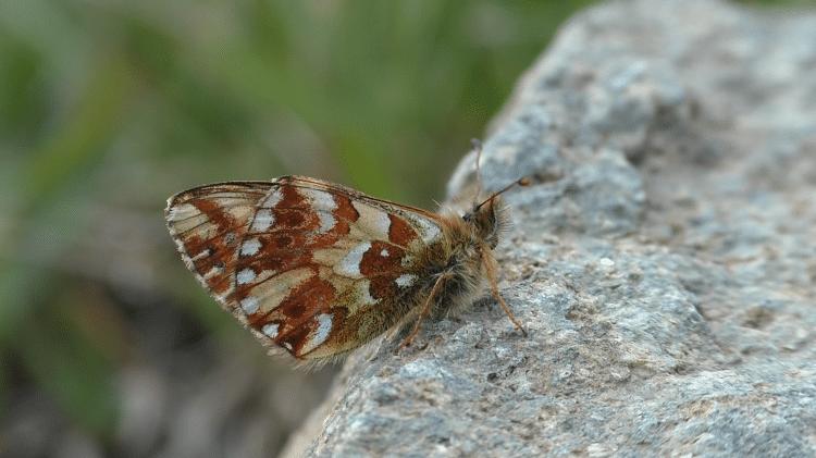 vlinders kijken bij lago di chamole herdersparelmoervlinder