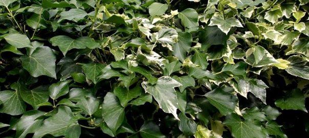 vier voordelen van klimop in de tuin