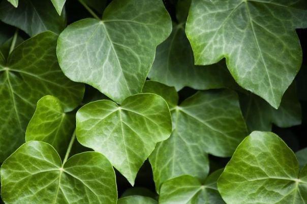 voordelen van klimop in de tuin