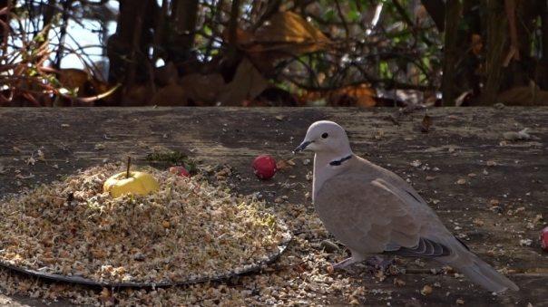 hoe lok ik een turkse tortelduif in mijn tuin