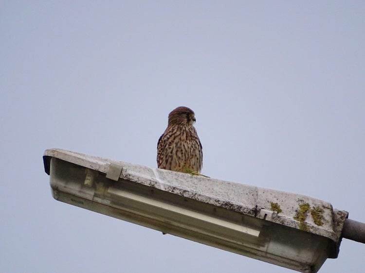 vrouwtje torenvalk op een lantaarnpaal