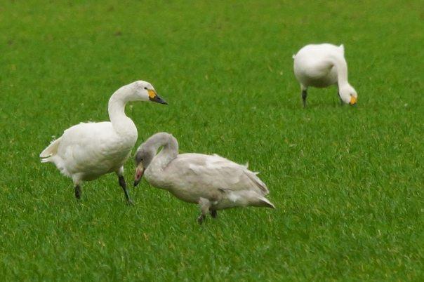 kleine zwanen kijken op Schouwen Duiveland met jong