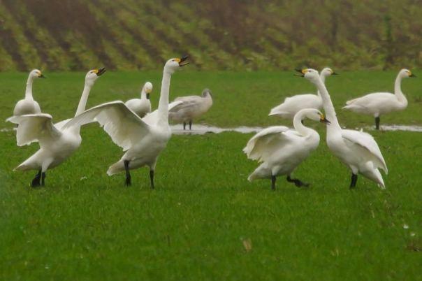 kleine zwanen kijken op Schouwen Duiveland ruzie