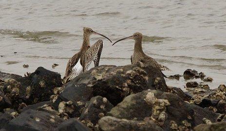 vechtende wulpen oesterdam
