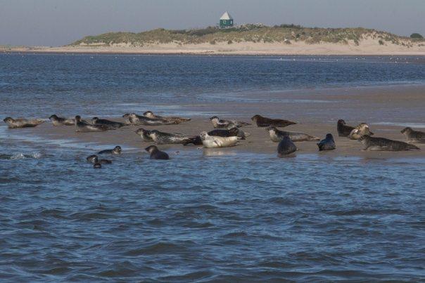Zeehonden op Rottumerplaat (foto: Doortje Dallmeijer)