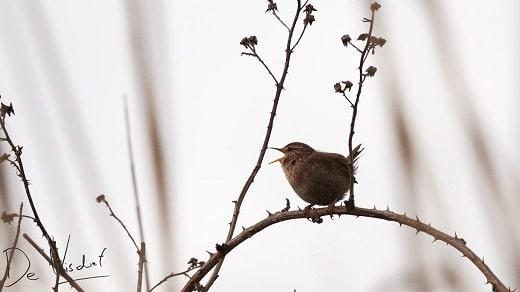 vogelwandeling oud beijerland door de staart