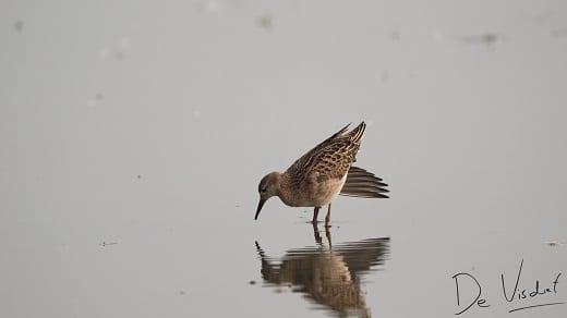 Vogelwandeling bij Zoetermeer door de Nieuwe Driemanspolder