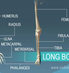 long bones support weight and facilitate movement [ 1232 x 863 Pixel ]