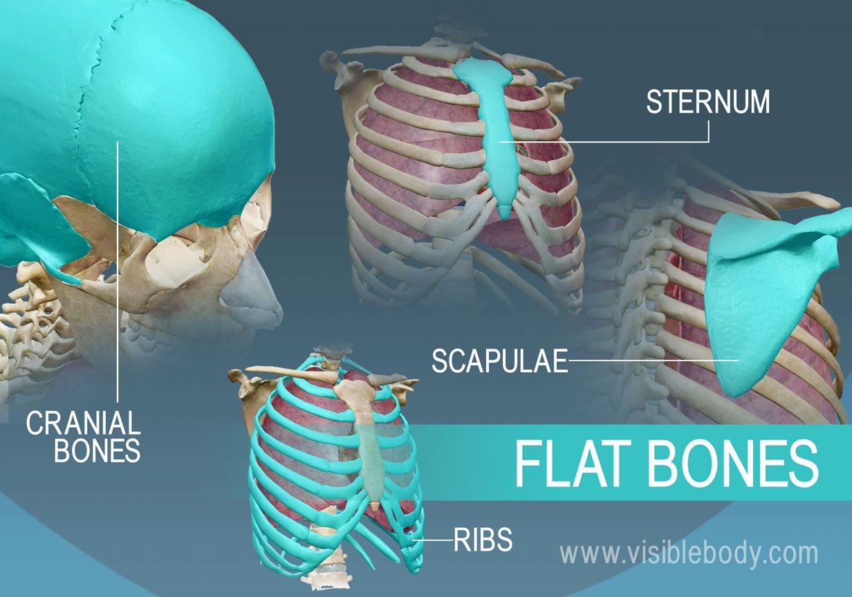 hight resolution of flat bones protect internal organs