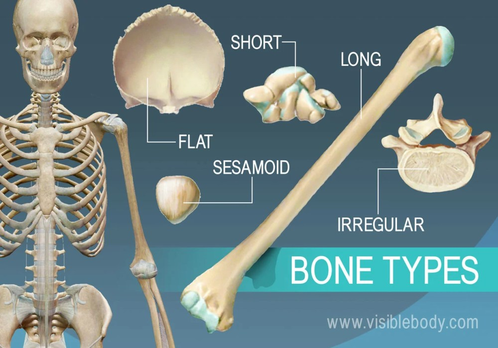 medium resolution of overview of 5 bone types long short flat irregular and sesamoid