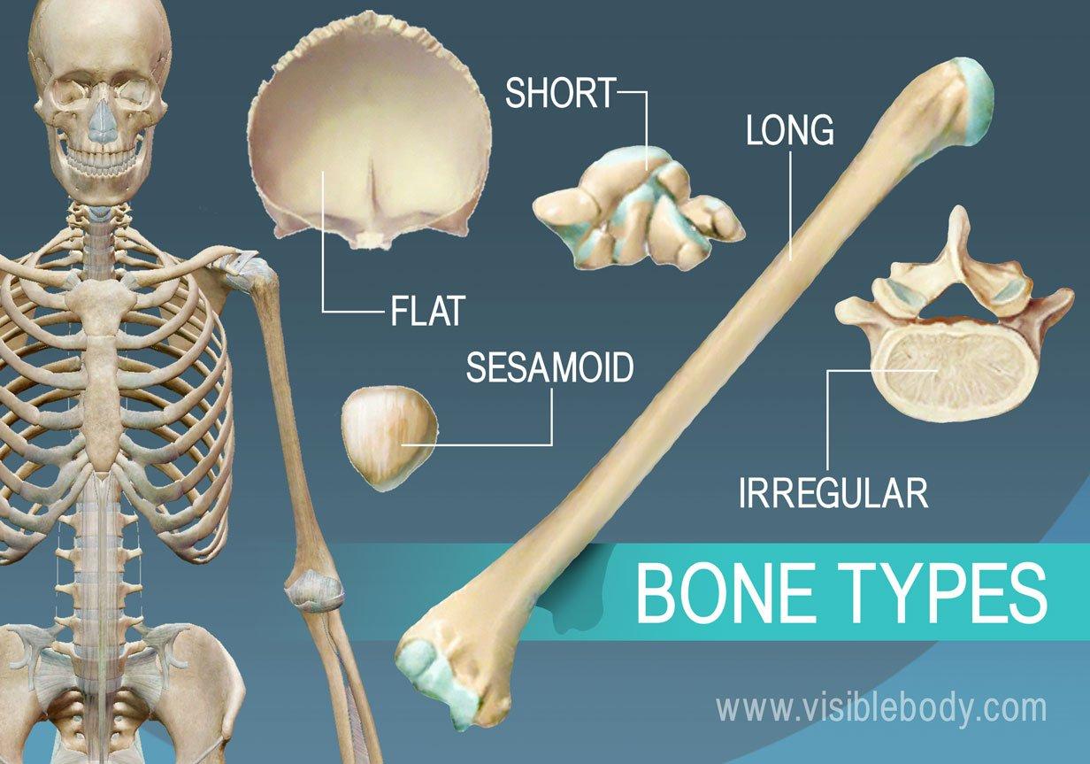 hight resolution of overview of 5 bone types long short flat irregular and sesamoid