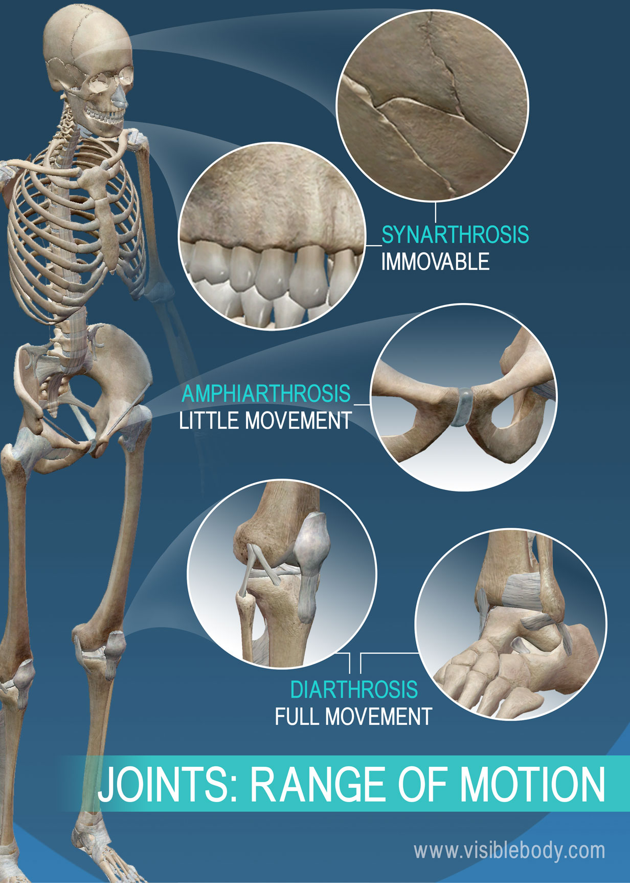 Joints And Ligaments