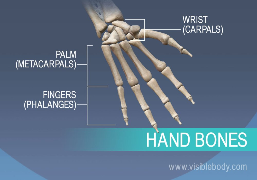 medium resolution of bones of the hand metacarpals proximal middle and distal phalanges
