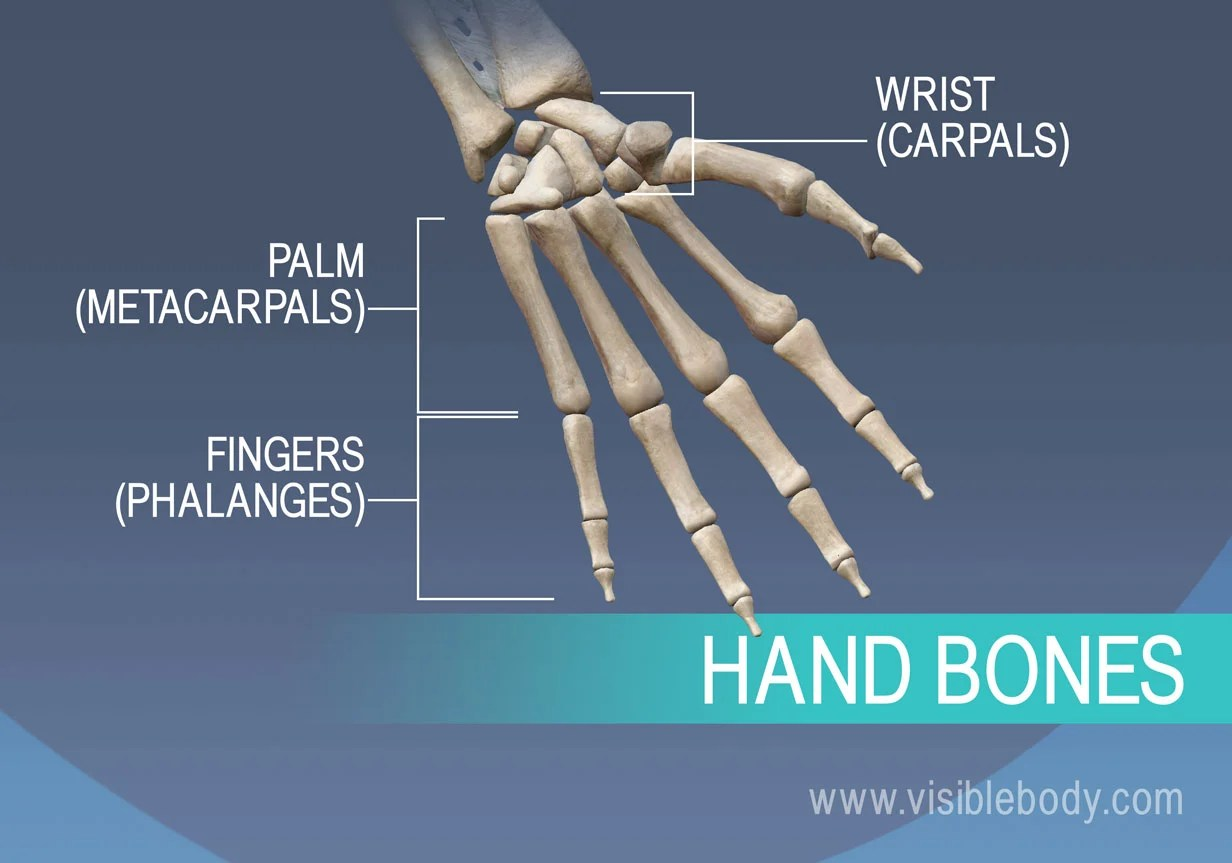 hight resolution of bones of the hand metacarpals proximal middle and distal phalanges
