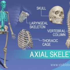 Axial Skeleton Skull Diagram Wiring Of My House Learn Anatomy Overview Vertebrae Larynx And Thorax