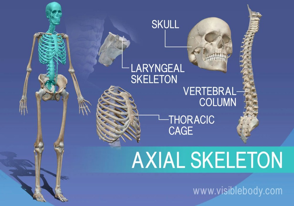 medium resolution of overview of axial skeleton skull vertebrae larynx and thorax