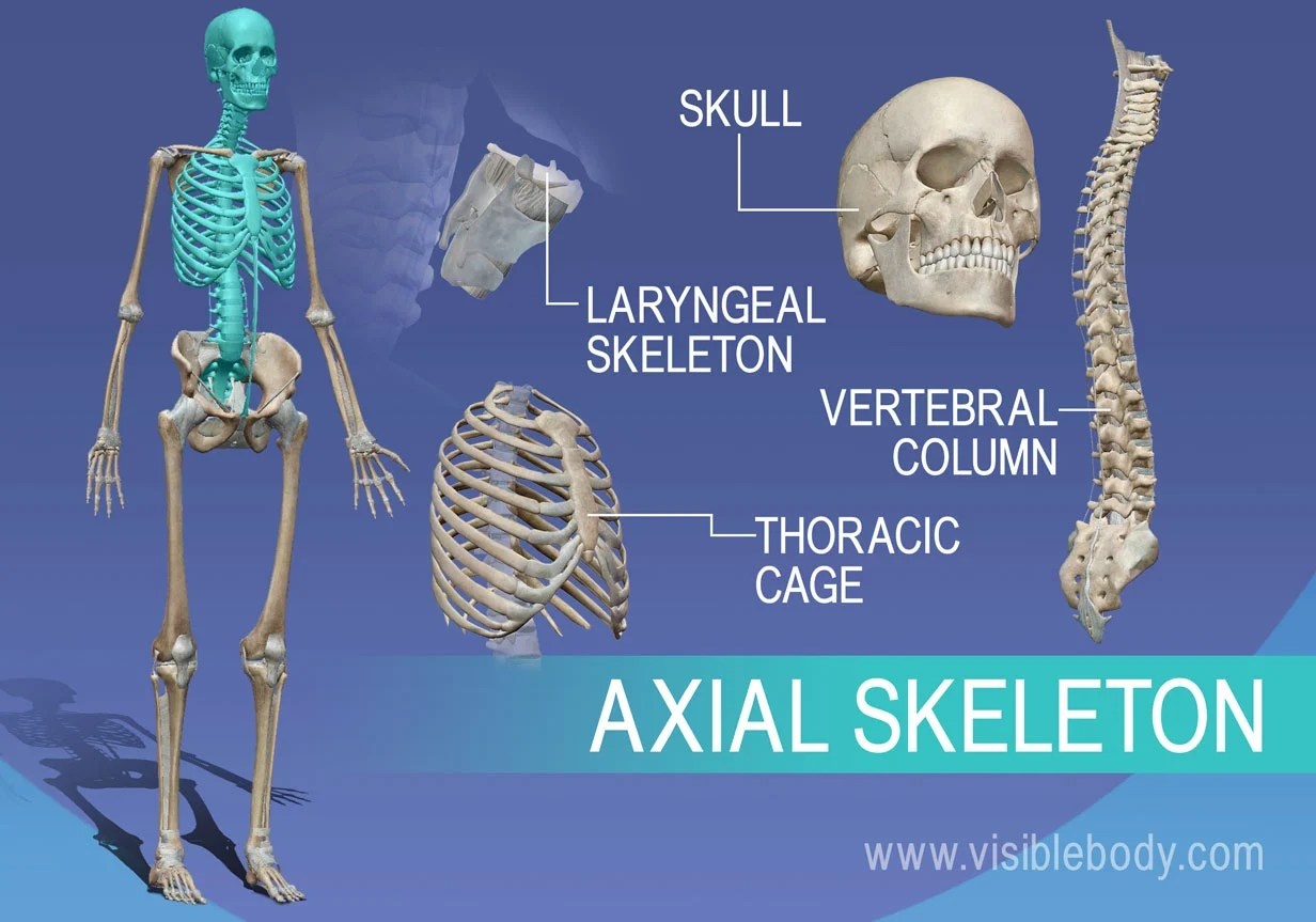 hight resolution of overview of axial skeleton skull vertebrae larynx and thorax