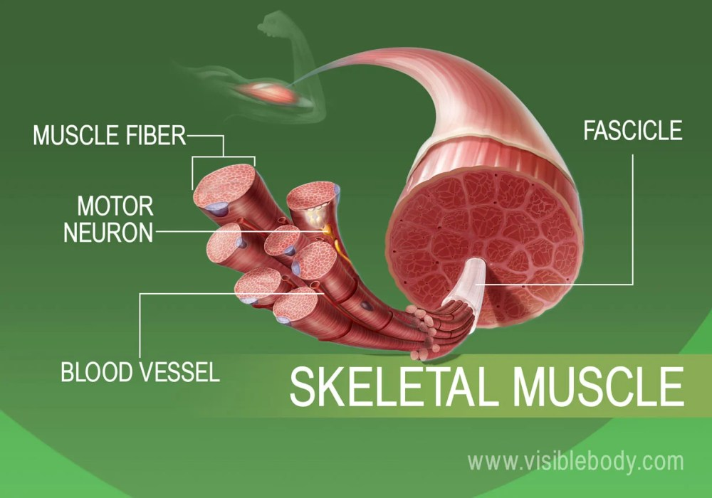 medium resolution of the human body has over 600 skeletal muscles that move bones and other structures
