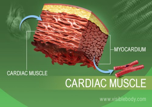 small resolution of close up of cardiac muscle tissue in the human body