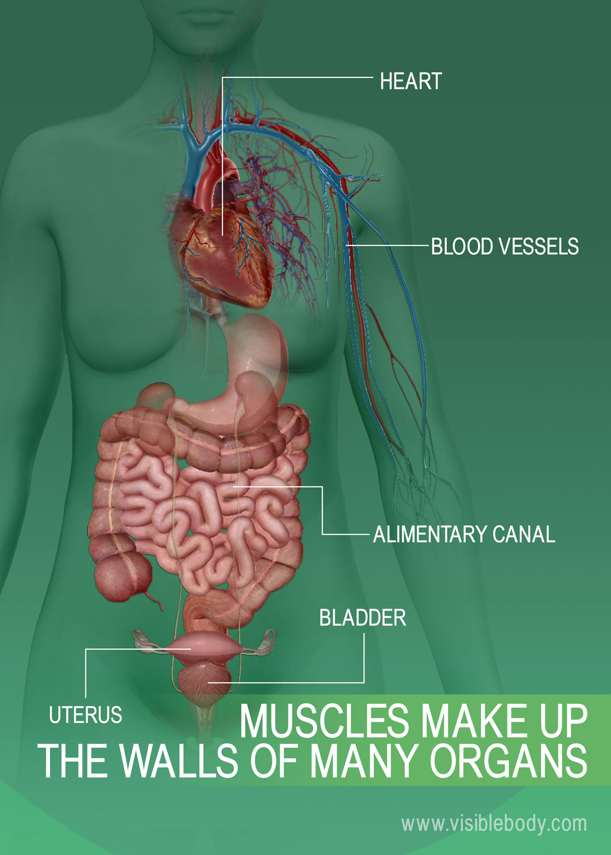 Muscular System Overview