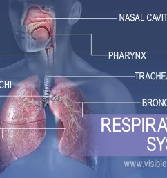 the major structures in the respiratory system include the nasal cavity pharynx larynx  [ 1232 x 863 Pixel ]