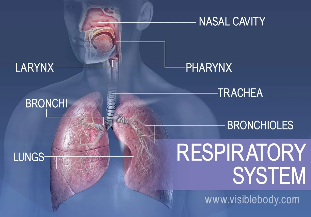 hight resolution of the major structures in the respiratory system include the nasal cavity pharynx larynx
