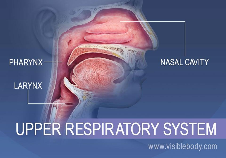 Upper Respiratory System | Respiratory Anatomy