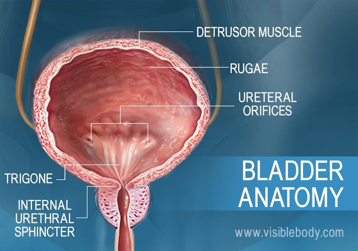 hight resolution of frontal cross section showing the anatomy of the bladder