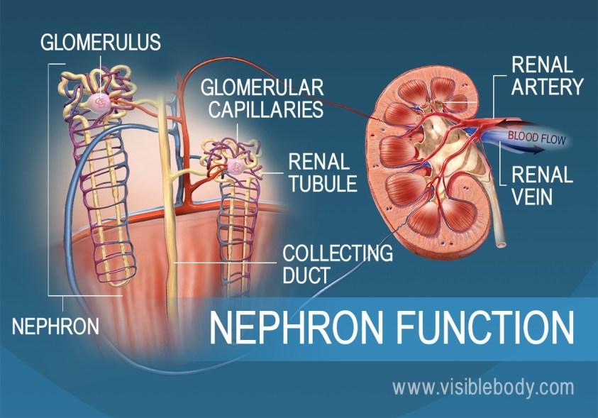 Kidneys   Urinary Anatomy
