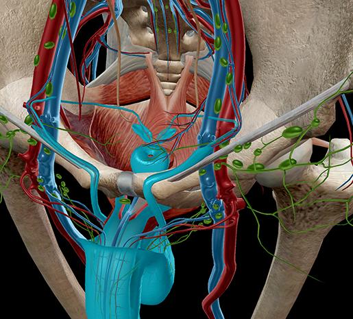Anatomy Of Seminal Vesicle