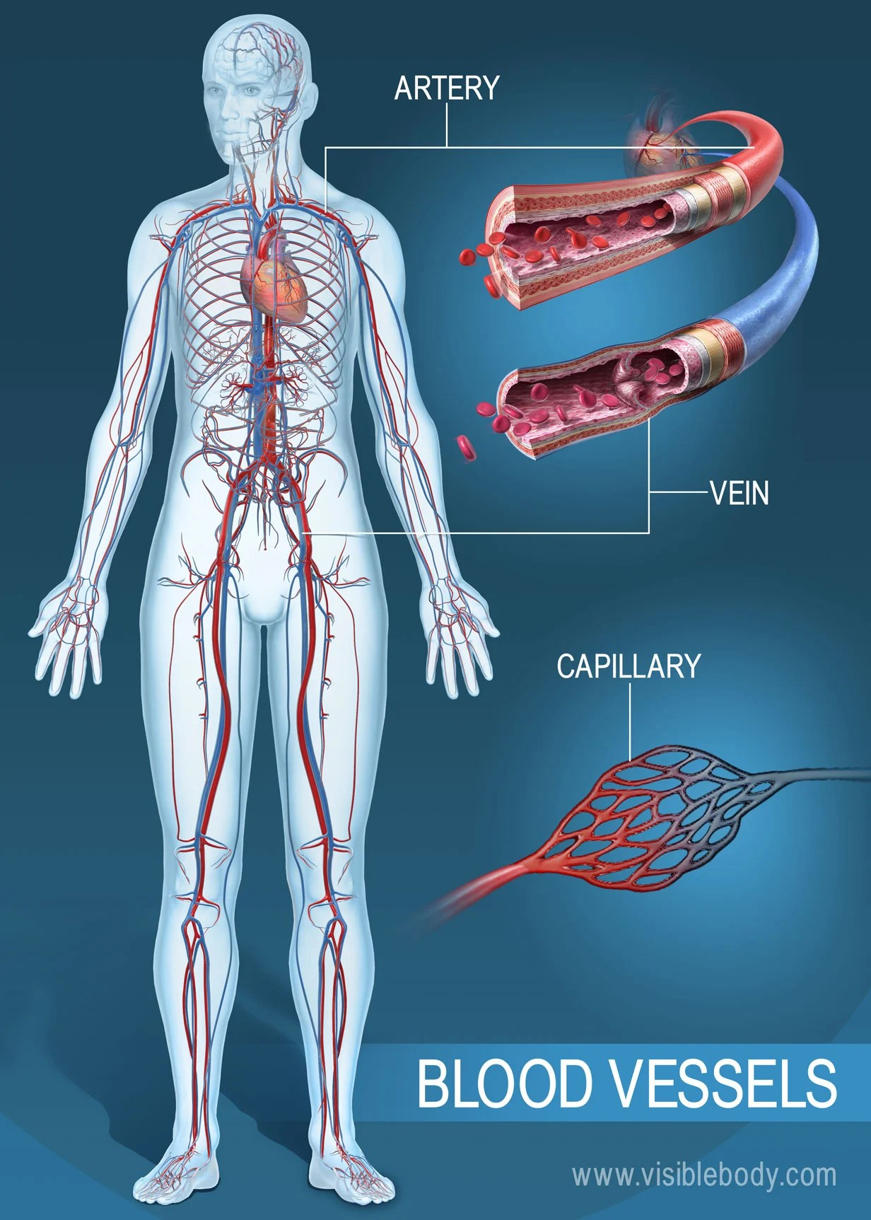 hight resolution of blood vessels of the human body