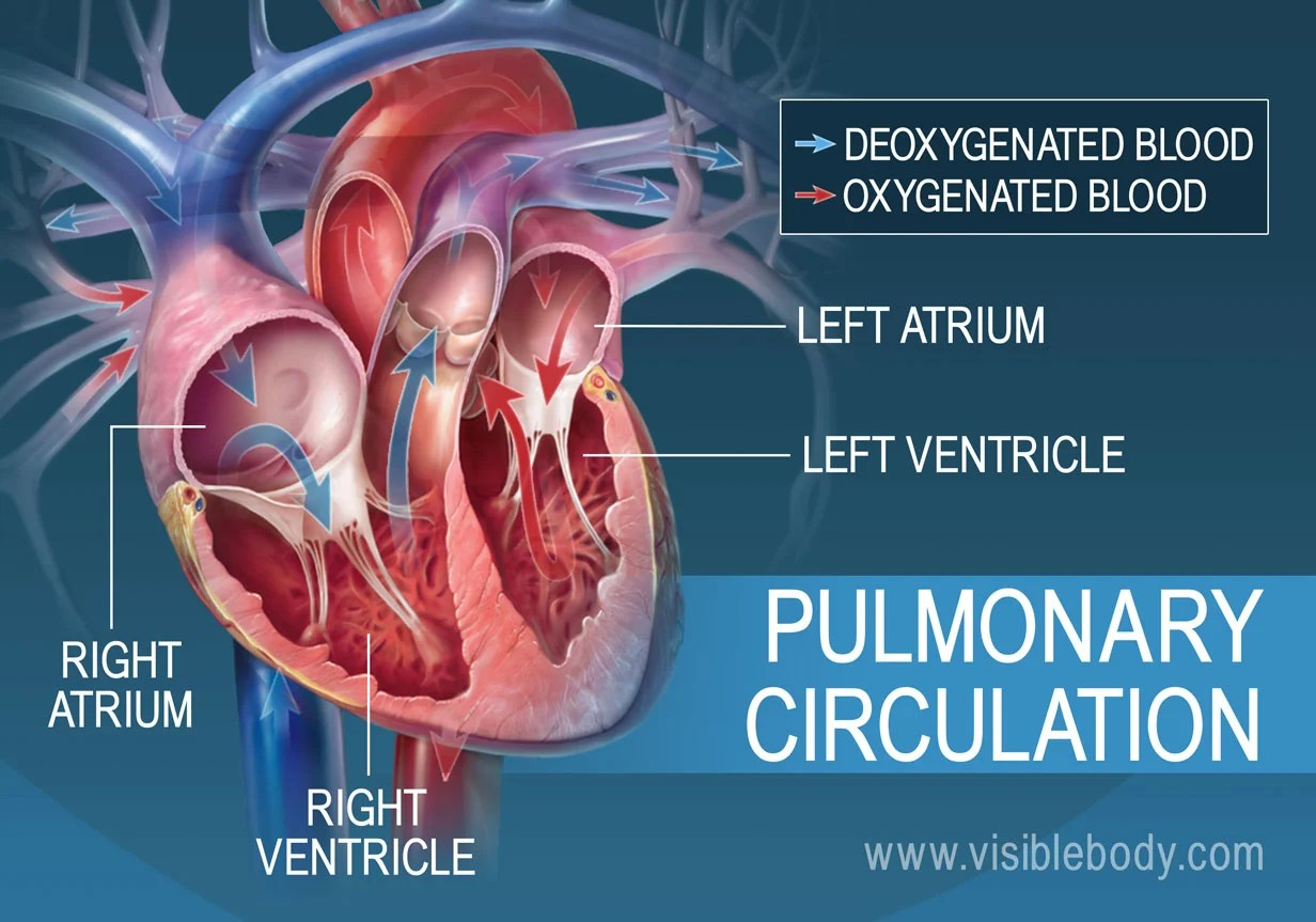 hight resolution of the pulmonary loop only transports blood between the heart and lungs